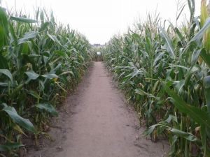 The corn maze in Dreieich